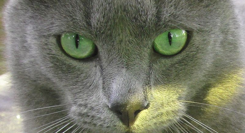 Cat Breeds: Russian Blue Cat - THE KITTYTON POST Russian Blue With Green Eyes